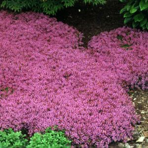 Creeping Thyme Overview