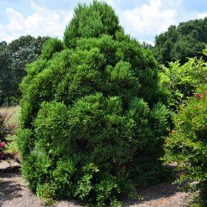 Chapel View Japanese Cedar Overview
