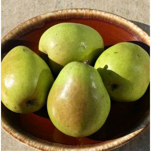 D'Anjou Pear Tree, buy D'Anjou Pear Tree, pear tree for sale