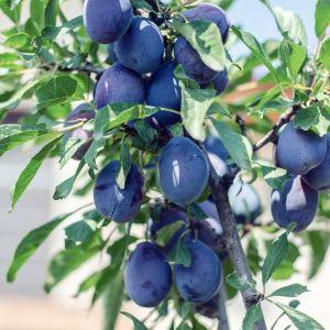 Damson Plum Tree, buy Damson Plum Tree