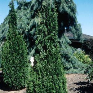 Degroot's Spire Arborvitae Overview