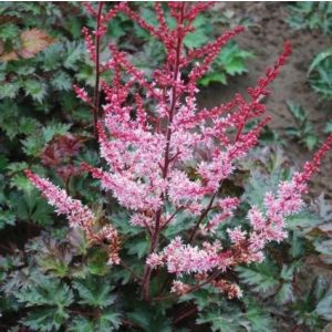 Astilbe Delft Lace blooms and foliage