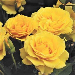 Doris Day Floribunda Rose Cluster