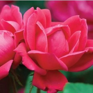 Red Double Knock Out® Rose Shrub bloom close up