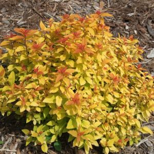 Double Play Candy Corn Spirea Overview
