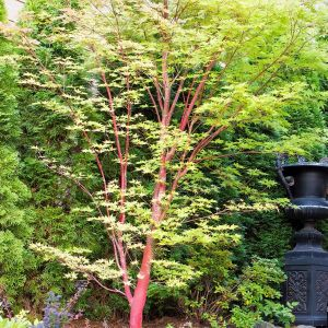 Coral Bark Japanese Maple Overview