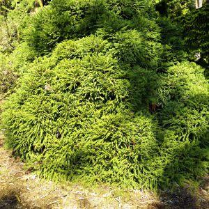 Dwarf Japanese Cedar Overview
