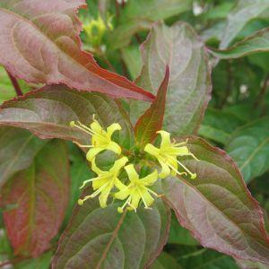 Dwarf Bush Honeysuckle foliage and new bloom