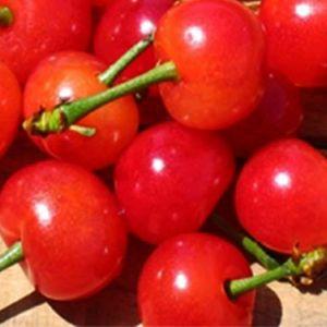 Early Richmond Cherry tree, buy Early Richmond Cherry, buy sour cherry tree