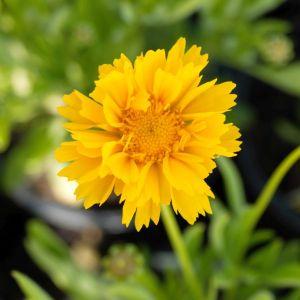 Coreopsis Early Sunrise Flower
