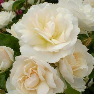 Easy Elegance® Champagne Wishes Rose blooms up close