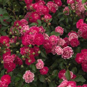Easy Elegance Little Mischief Rose overview
