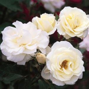 Easy Elegance Macy's Pride Rose Shrub Overview