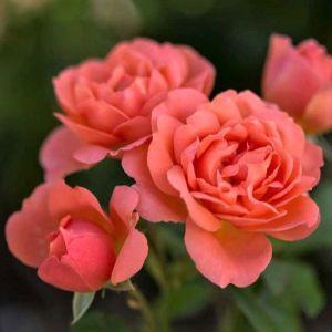 Easy Elegance Sweet Fragrance Roses Open