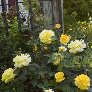 Easy Elegance® High Voltage Shrub Rose landscape