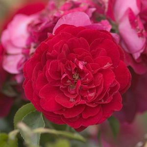 Easy Elegance Paint the Town Rose bloom and foliage