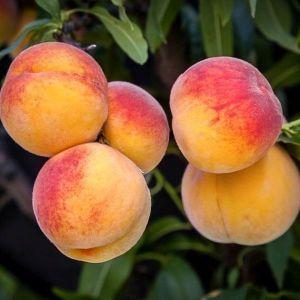 Elberta Peach Tree Overview