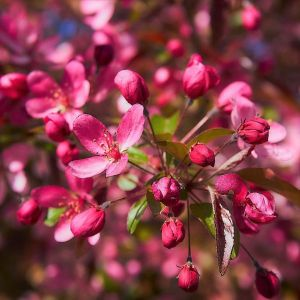 Profusion Crabapple Blooms