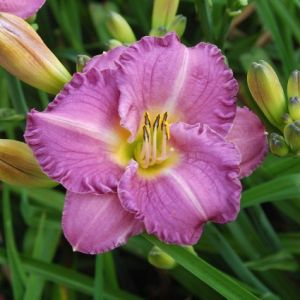 Entrapment Daylily Overview