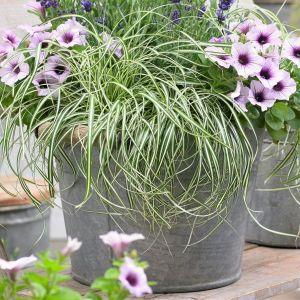 EverColor® Everlite Variegated Sedge Grass Overview