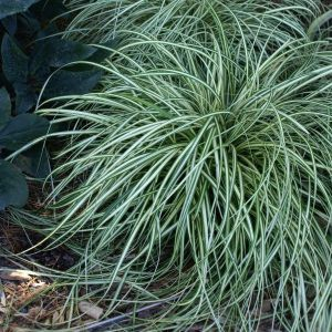 Evergold Sedge Grass Overview