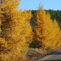 American Larch Tree fall foliage