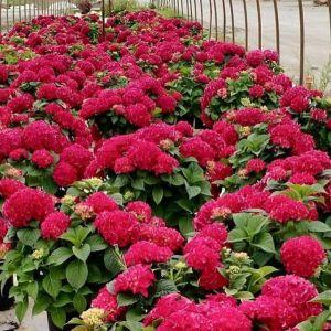 Grateful Red Hydrangeas