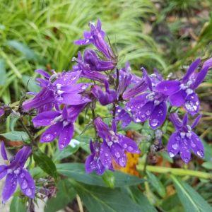 Great Blue Lobelia Flowers
