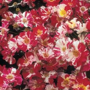 Fourth of July Climbing Rose Overview