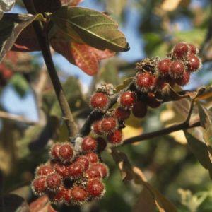 Fragrant Sumac berries close up