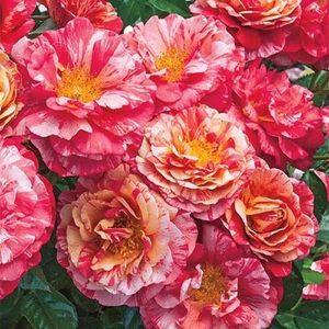 Frida Kahlo™ Floribunda Rose