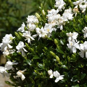 Frost Proof Gardenia Close Up