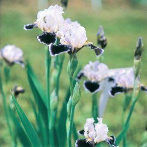 Frosted Velvet Tall Bearded Iris