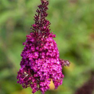 Funky Fuchsia Butterfly Bush Bloom