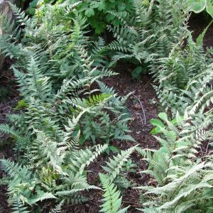 Ghost Fern Overview
