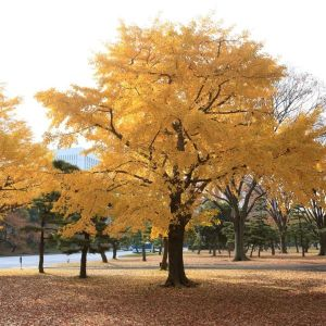 Ginkgo Tree Overview