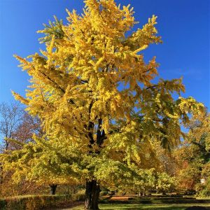 Princeton Sentry Ginkgo Overview