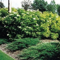 Golden elder elderberry bush
