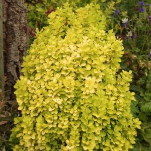 Golden Torch Barberry foliage