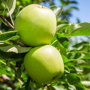 Granny Smith Apple Overview