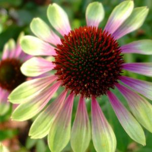 Green Envy Coneflower Overview