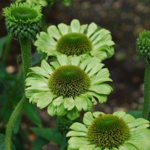 Green Jewel Coneflower overview