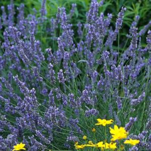 Grosso Lavender Overview