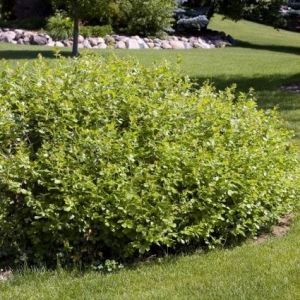 Gro-Low Sumac overview