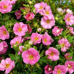 Happy Face Pink Paradise Potentilla overview