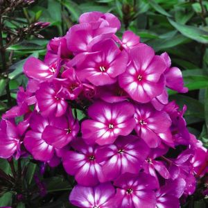 Hardy Tall Laura Phlox overview