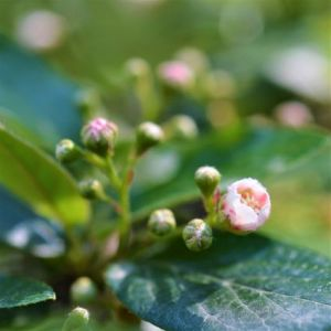 Cotoneaster Hedge Blooms