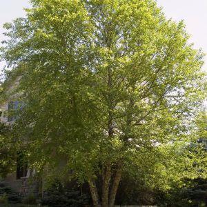 Heritage Birch Tree Overview