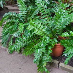 Japanese Holly Fern Potted