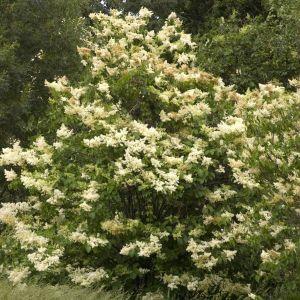 Japanese Lilac Tree Landscape
